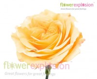 Capriccio Yellow Garden Rose