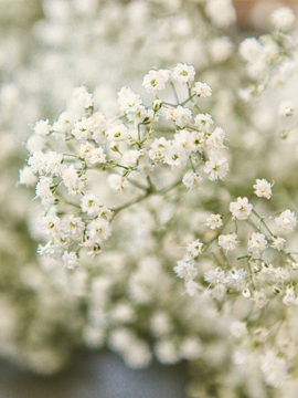 Baby's Breath flower - Flower Explosion